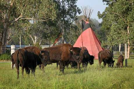 CAMP ACTIVITIES: Bison inspect the camping area at Aranyani Bison Adventure Tourist Park, Myrtle Creek.