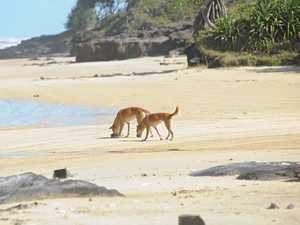 Dingo control causes danger? Research suggests link
