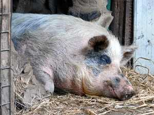 Fundraiser to help 'save tortured pig Polly'