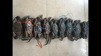 Reegan Curtis caught nine big, full mud crabs out of nine pots over two days just in time for Christmas lunch.