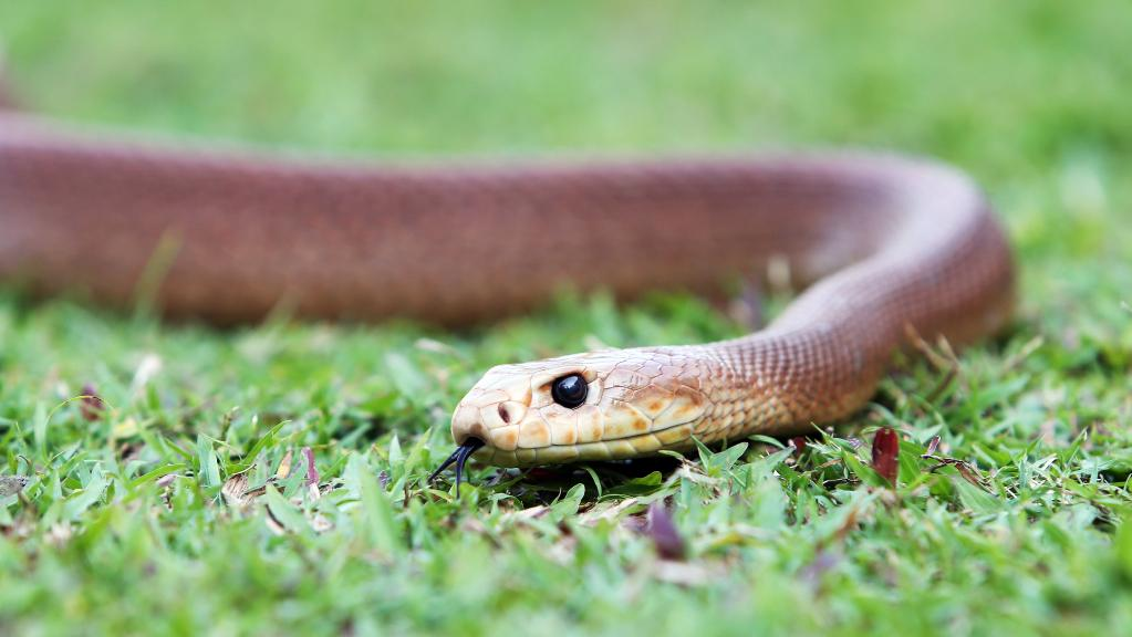 A coastal taipan pictured at Cairns Tropical Zoo