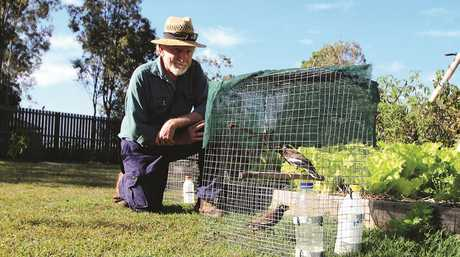 Fraser Coast man John Williams uses decoy birds to attract Indian mynas, an invasive species, into wire traps. (File pic)