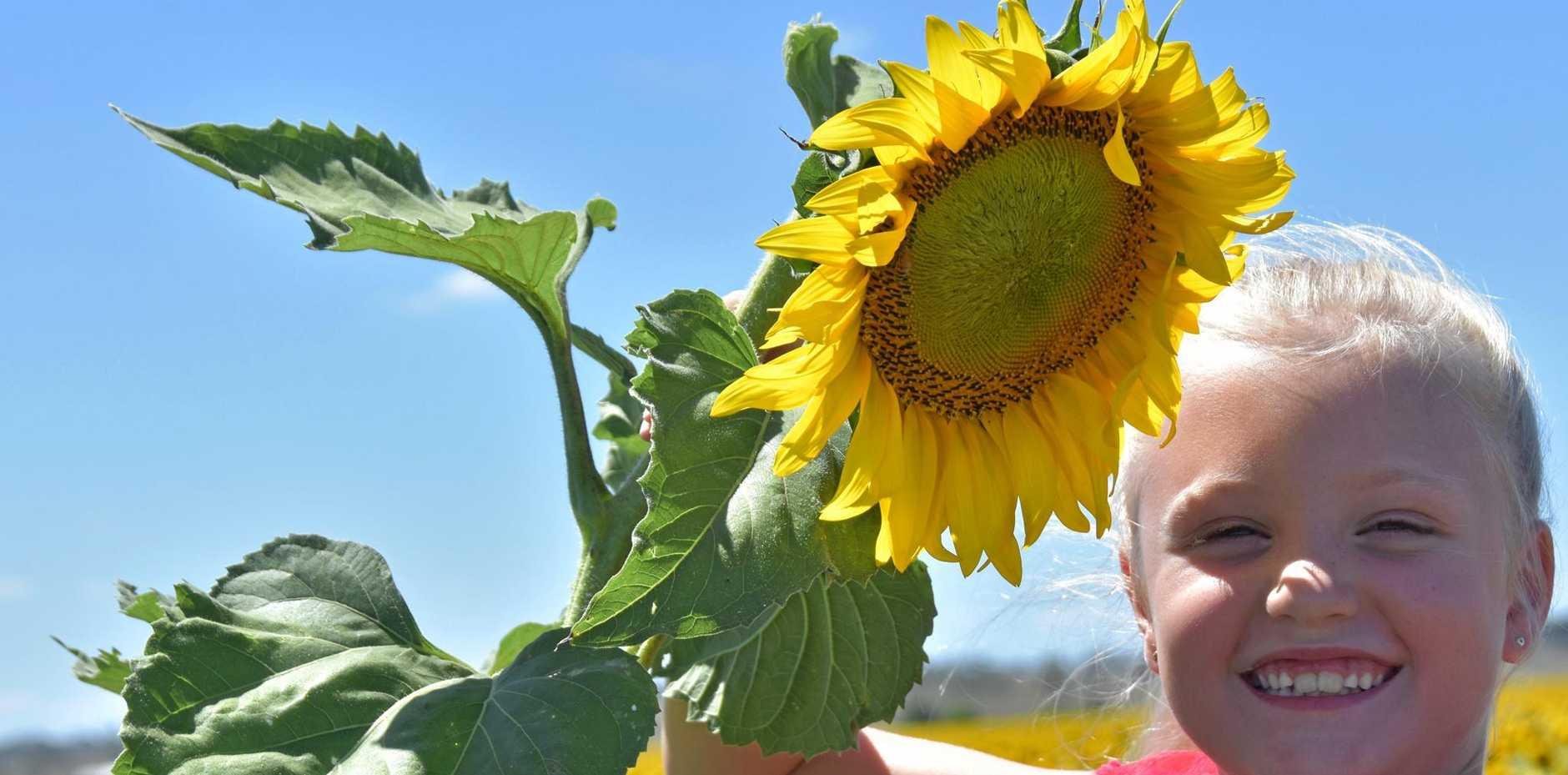 Matilda Rees admires the sunflowers just north of Allora.