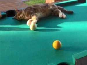 WATCH: Gympie feline's perfect pool shot