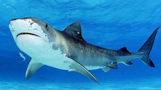 Tiger sharks have been caught off Gladstone.