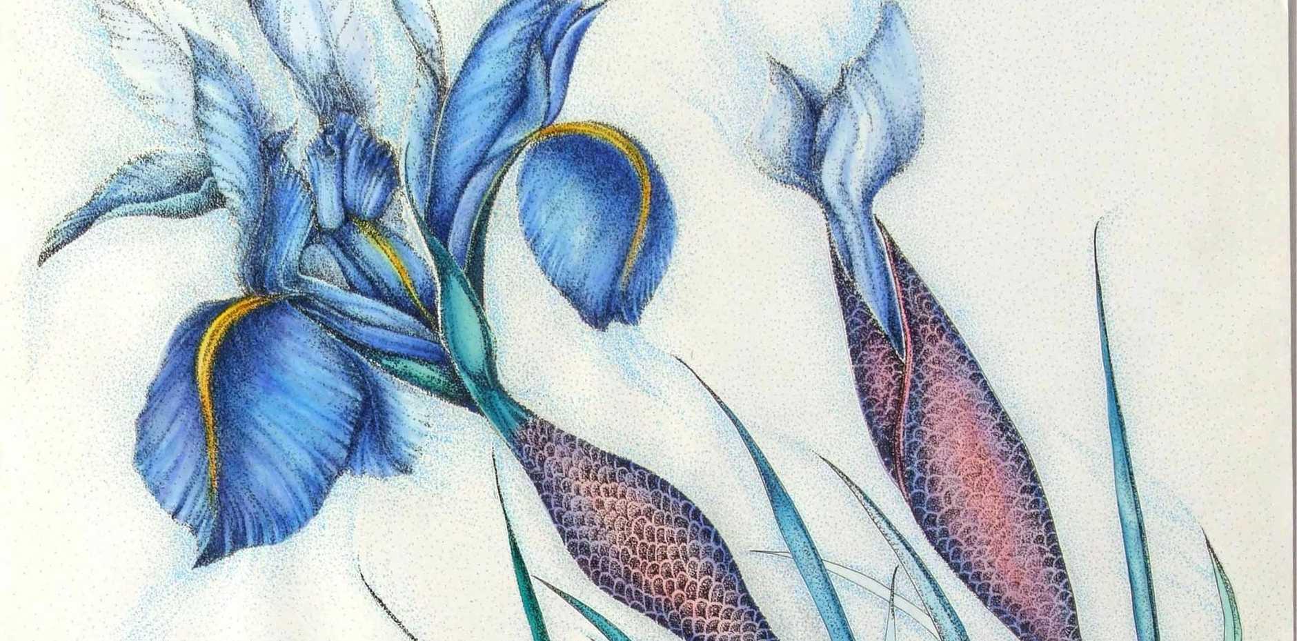 Mermaid Iris, watercolour and pen by Susan Kinneally.