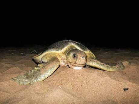 GRAND OLD LADY: X23103 is the world's longest-studied turtle.