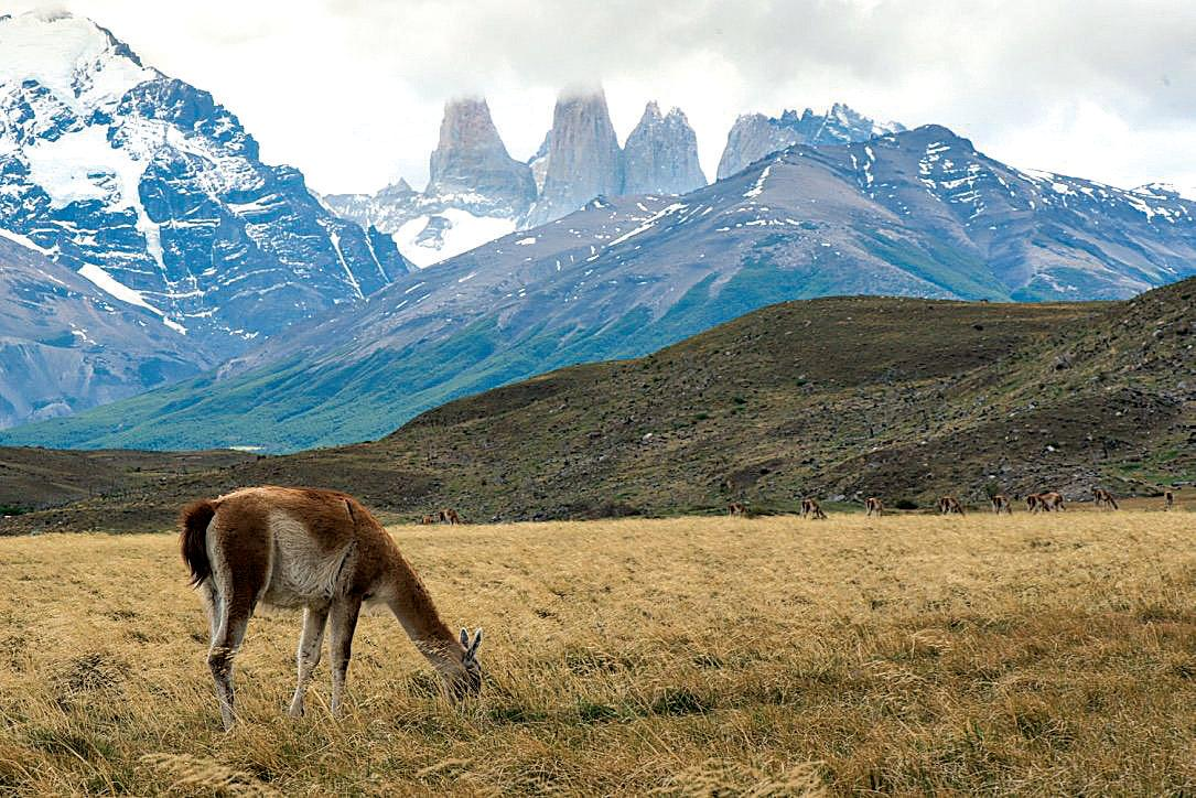 A guanaco in front of the plains and mountains of the Torres del Paine hike.