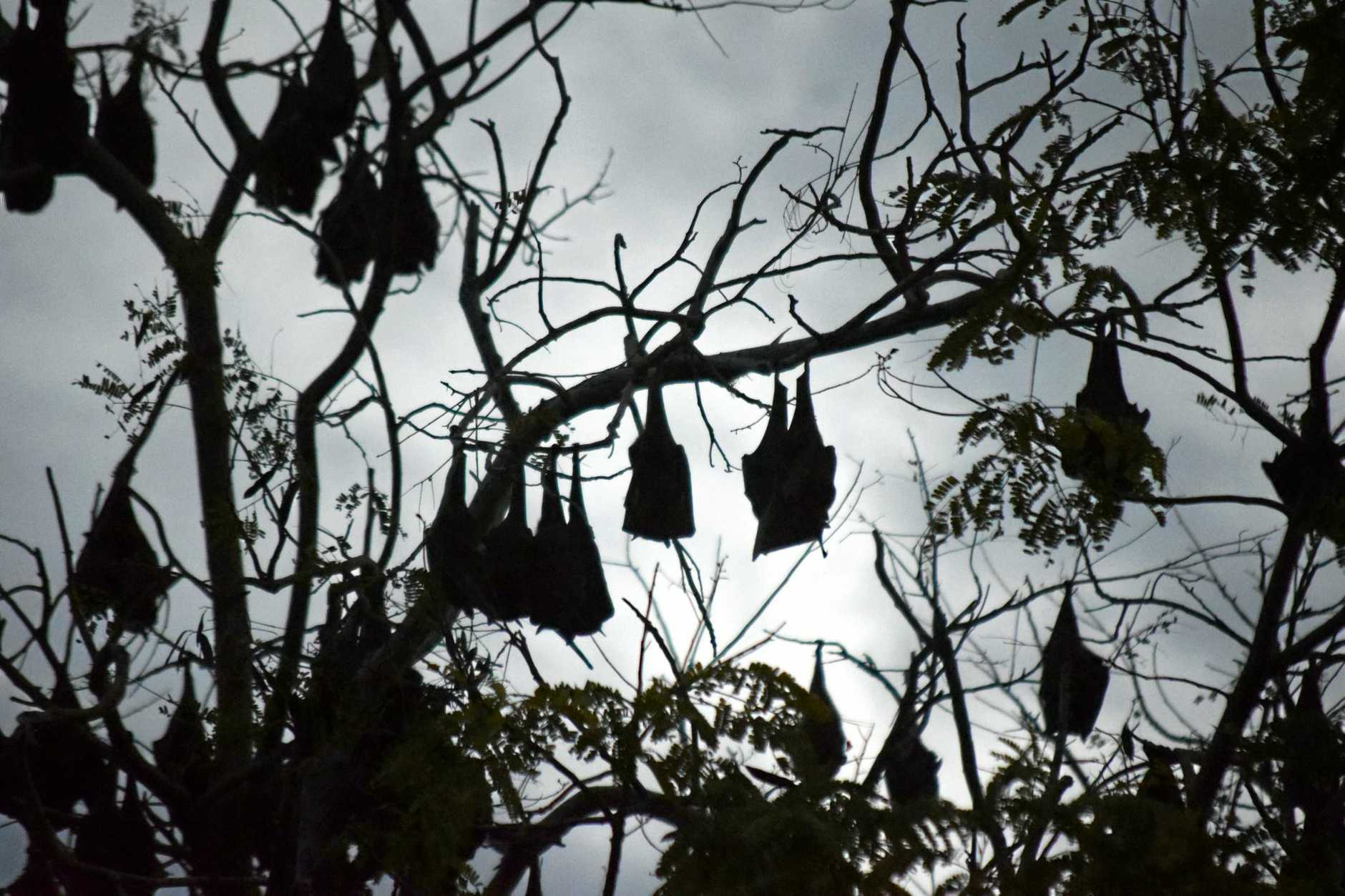A flying fox colony roosting.