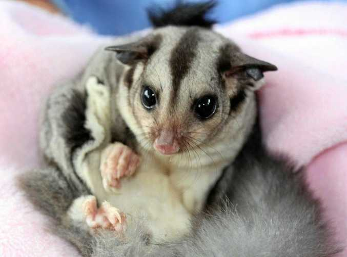 This is not the damaged squirrel glider, but one that WIRES will be able to put back into the wild.
