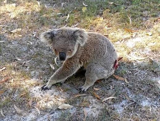 Koalas are at risk on Gympie region roads.