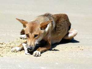 Gov says destroying dingoes on Fraser Island last resort