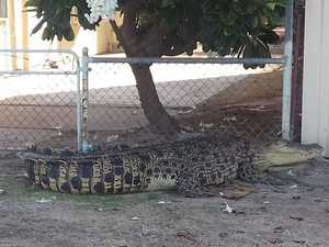 Wheelie bins used to block wayward croc
