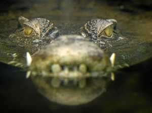 Croc sighting in Sunshine Coast creek