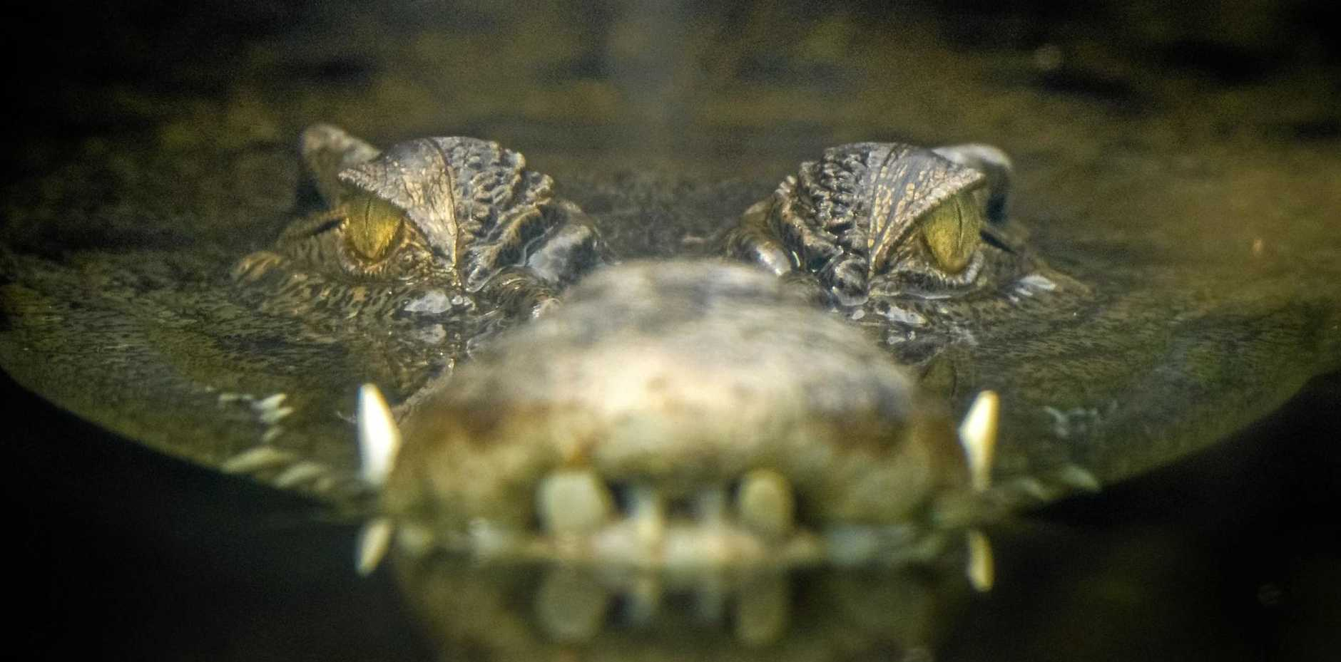 The saltwater crocodile (Crocodylus porosus) is the largest of all living reptiles, as well as the largest terrestrial and riparian predator in the world.