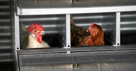 CHOOK CHOOK: Toni Simmons has recently opened a free range egg business called Surfie Chicks.