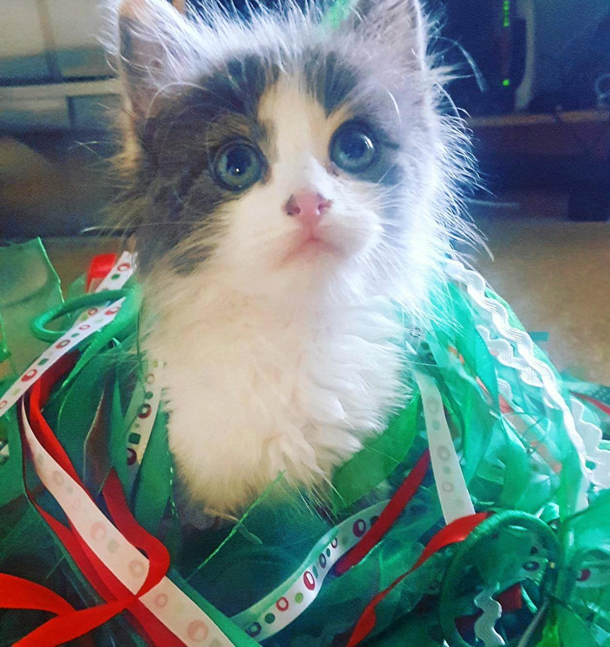 Kitten 'Princess Leia' looks festive in red and green.