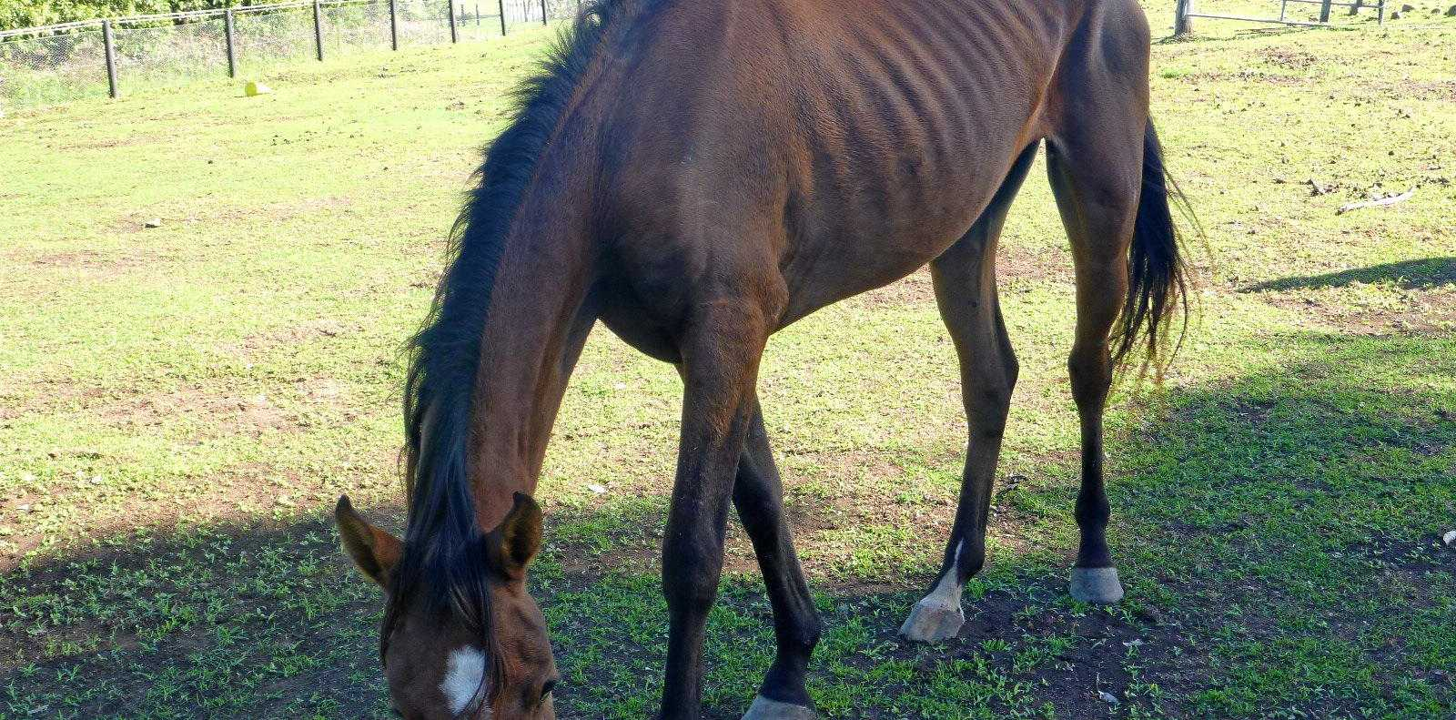 HORRIBLE: OFFICERS from RSPCA Queensland responded to more than 1000 complaints of abuse and neglect towards horses in the past 12 months.