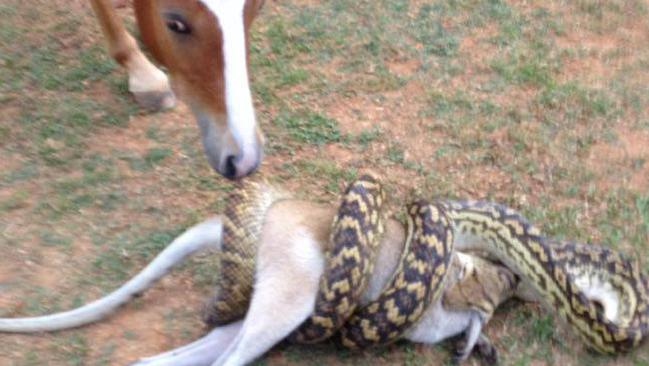 This python was snapped eating a wallaby at Kuranda on Sunday afternoon.