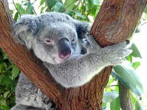 $10million koala plan slammed by Tweed activist