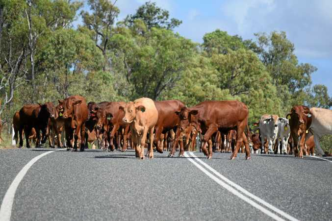 WANDERING STOCK: Cattle on the road are a risk to motorists.