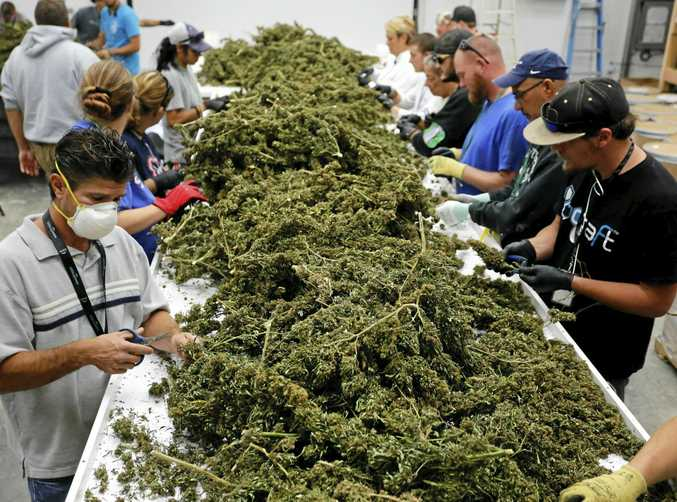 Farmworkers remove stems and leaves from newly harvested marijuana plants at Los Suenos Farms, America's largest legal open air marijuana farm, in Avondale, southern Colorado.
