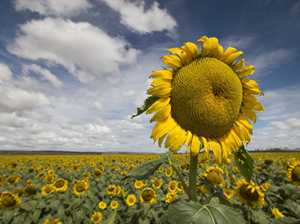 Sunflowers are blooming on the Downs