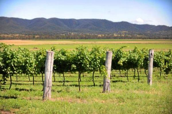 A vineyard at Mingoola which lies inland on the NSW/QLD border.