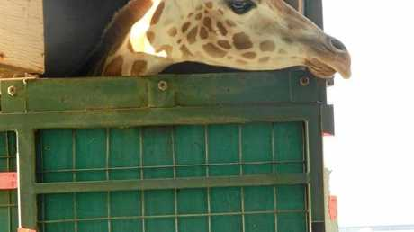 NEW FRIENDS: Two-year-old giraffes Tulip and Lilly have come to the Darling Downs Zoo.