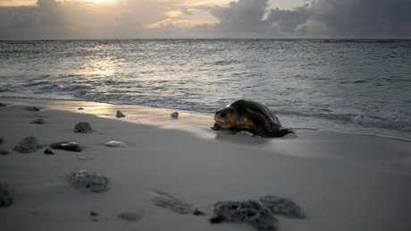 ARRIVAL: A loggerhead emerges on Wreck Island.