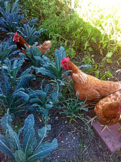 In among the kale, the chooks play. PHOTO: ALISON PATERSON