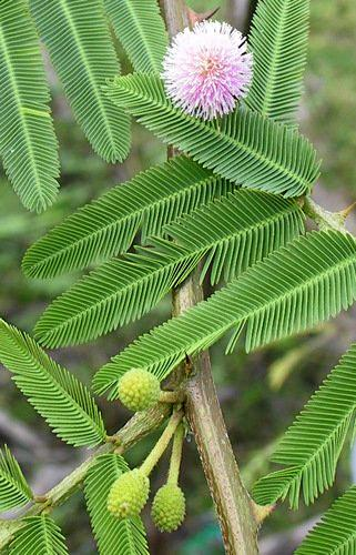 A close-up of the flowering Mimosa pigra weed.