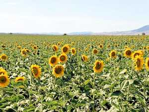 Concerns bloom with Southern Downs sunflowers