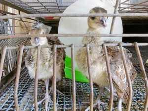 Helpless baby animals stolen from Lismore school