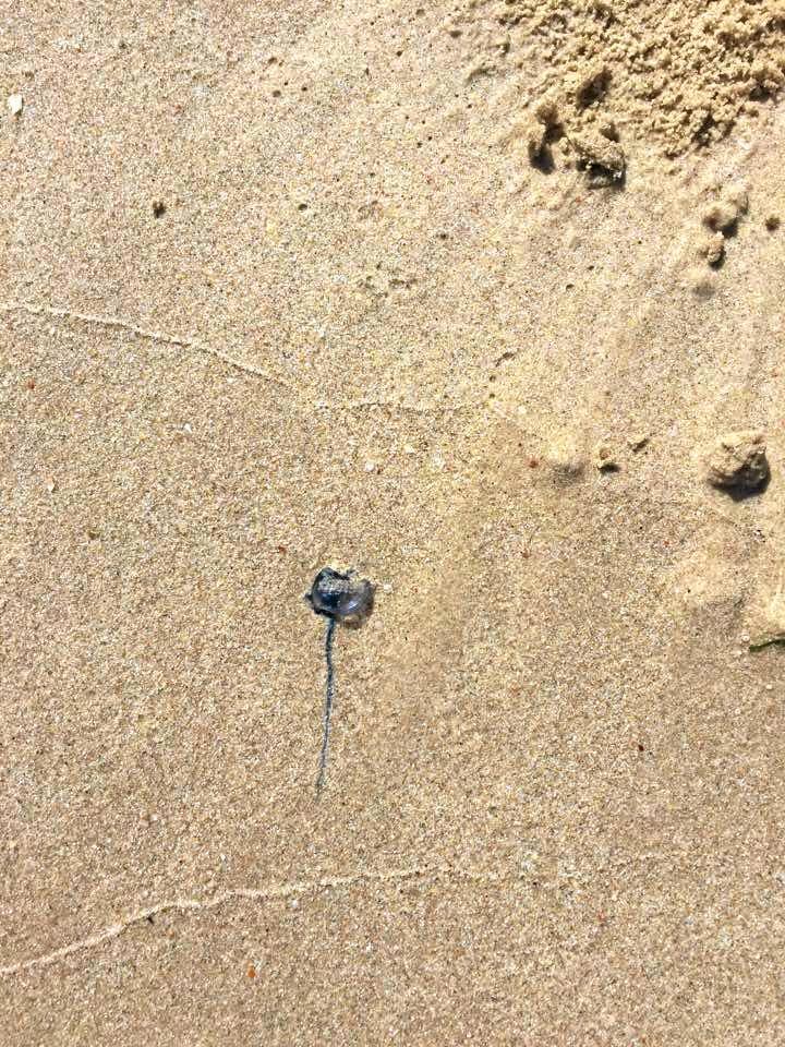A bluebottle on Mooloolaba Beach.