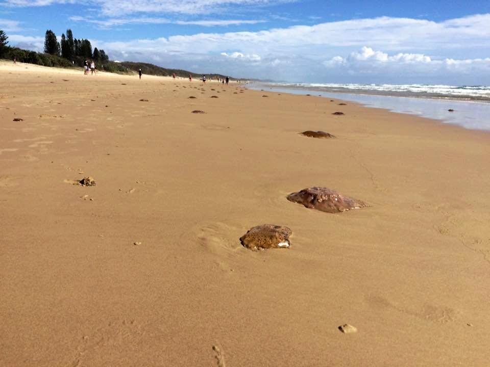 Blobs of jellyfish and bluebottles line the shores at Coolum Beach.