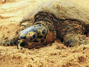 Local turtles on the radar