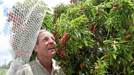 BOOM TIME: Derek Foley has had a bumper crop of lychees this season and will be exporting to the US for first time.
