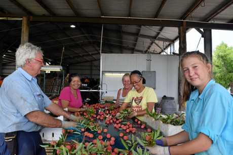 PICKING AND PACKING: Barry Wells, Lucky Kerolen, Sharon Boyton, Angelita Mann and Chloee Wells packing lychees on Electra Farms.