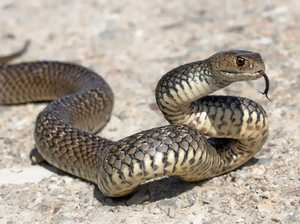 Suspected snake bite at Mon Repos
