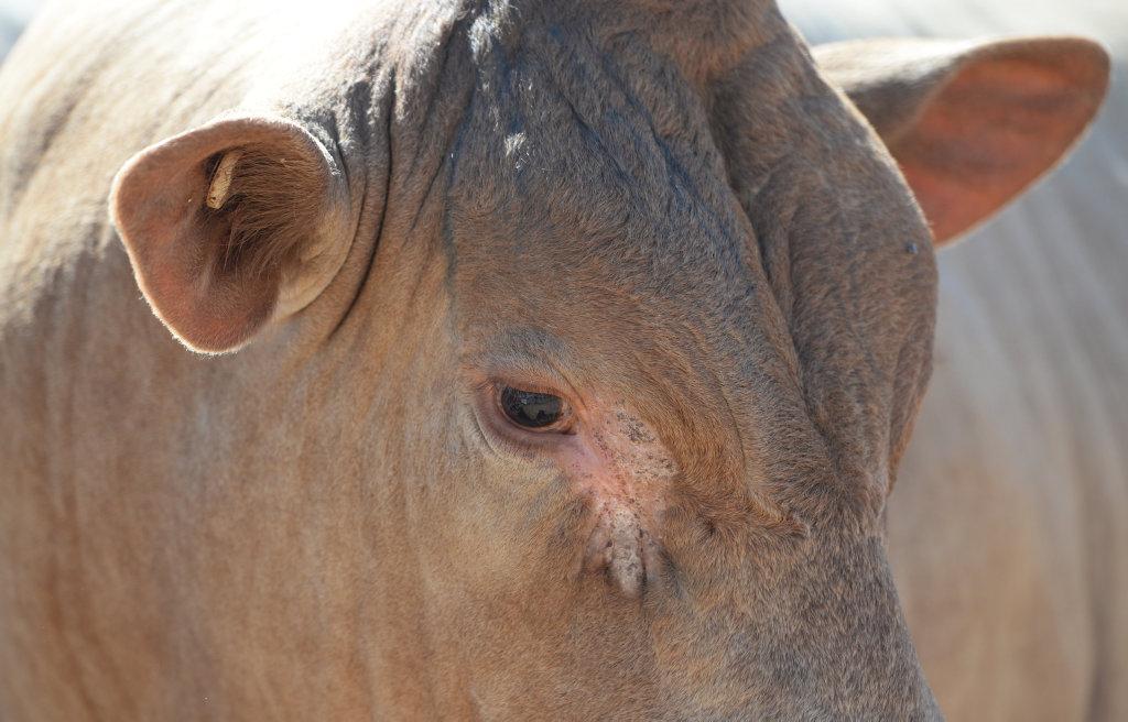 Beef Australia 2015 held in Rockhampton. Photo: Chris Ison / The Morning Bulletin