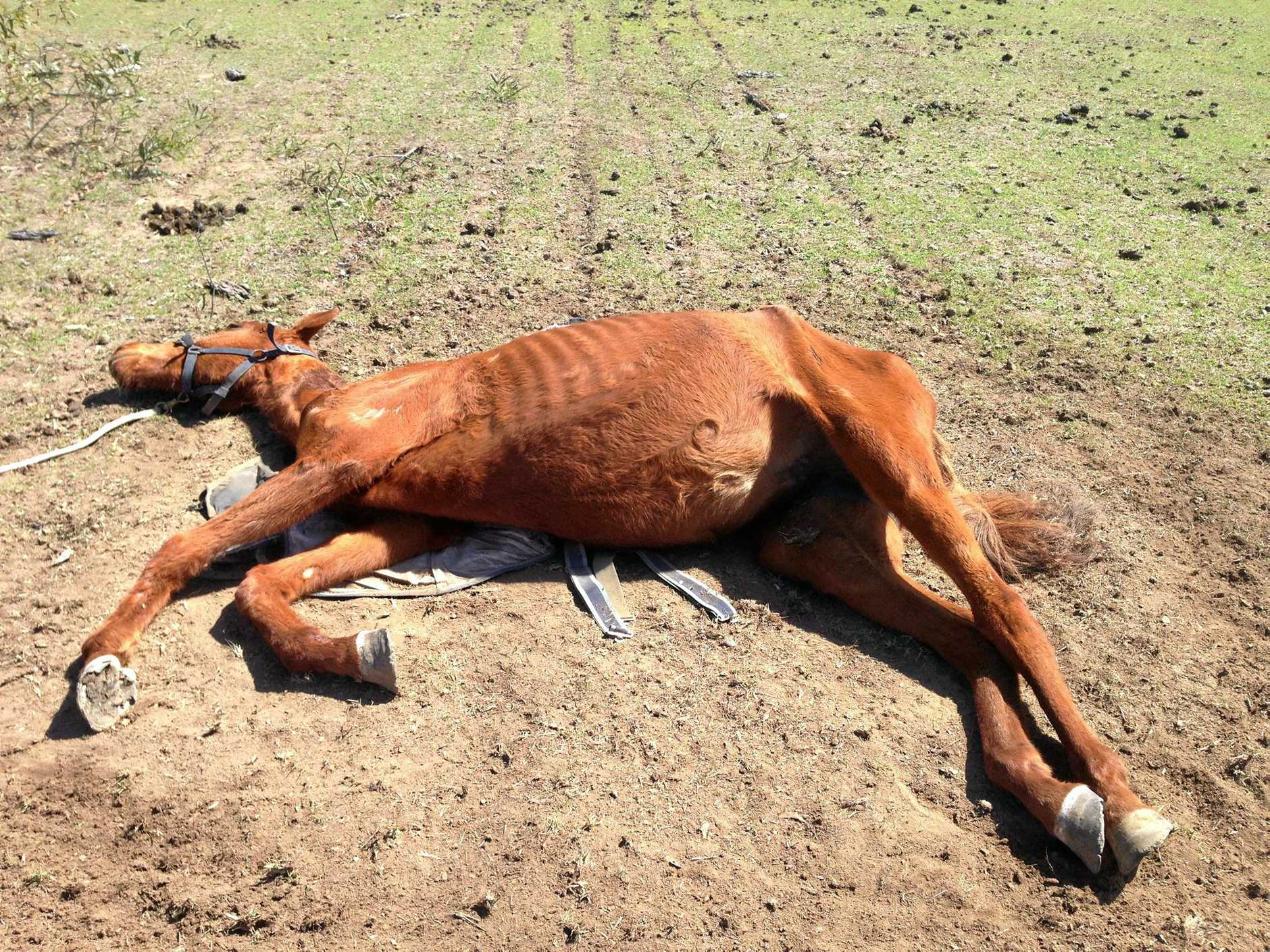 IN COURT: Investigations into Big Red's condition started in August 2014 after two people told the RSPCA Big Red was down and another horse had died in a similar condition on the Regency Downs property weeks before.
