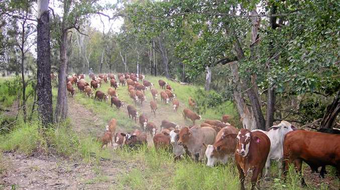 Cattle being mustered at the Hillview property at Kunwarara.