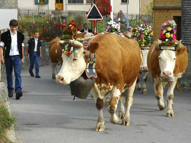 Cows decorated with flowers and bells are led down to the valley during the traditional 'Entlebucher Alpabfahrt' - the ceremonial return of cattle from the high altitude pastures to the valley in autumn - in Schuepfheim, canton Lucerne, central Switzerland.