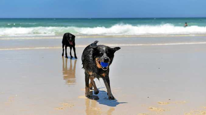 DOGGONE FUN: Rocky the dog having fun on the leash free dog exercise area at South Kingscliff Beach.