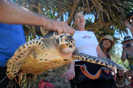 A Hawksbill turtle being released back into the ocean.
