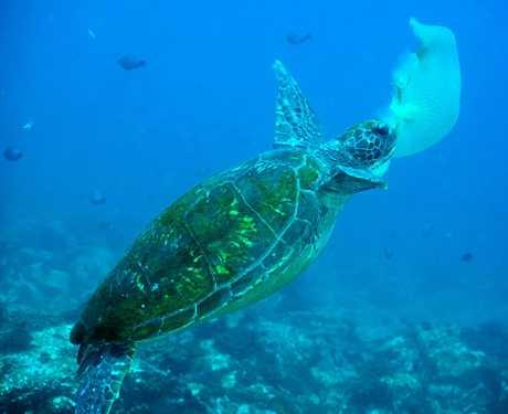 A green sea turtle captured feeding on a jellyfish last year.