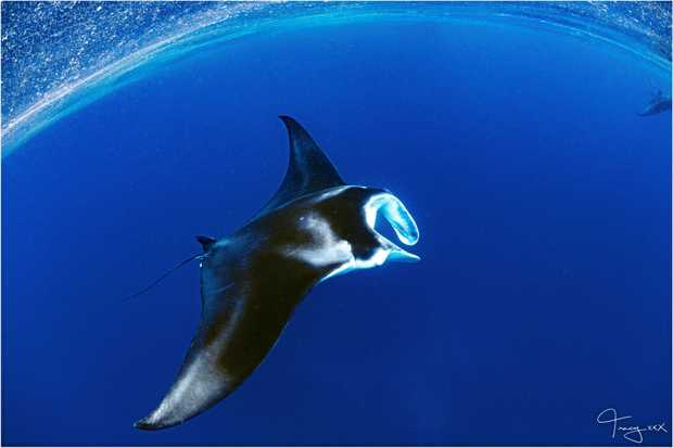 Tracy Olive captured some amazing images of manta rays on the outer reef of Lady Musgrave Island.