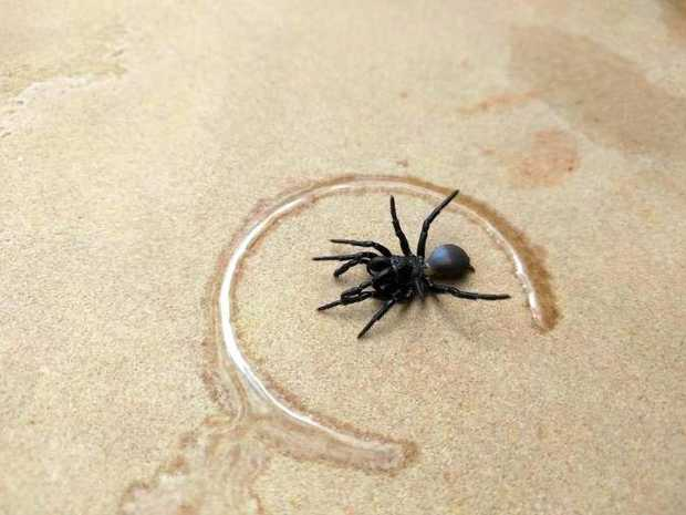 A funnel web spider found in Tom Storey's pool at Wollongbar.