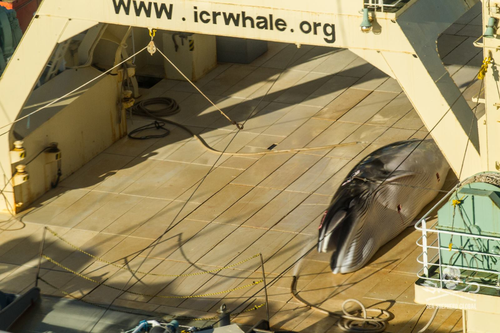 A Sea Shepherd image with the caption: Protected Antarctic minke whale about to be dismembered on the deck of the factory whaling ship, Nisshin Maru